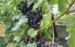 Виноград надежда азос: описание сорта, фото, отзывы.
