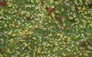 Черная малина Кумберленд: описание сорта, фото, отзывы, видео, обрезка