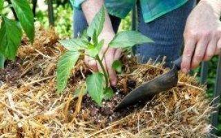 Сроки высадки перца в открытый грунт: выбор места и подготовка грядки, правила севооборота
