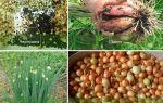 Когда сажать лук-севок осенью под зиму