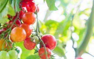 Помидоры черри: уход и выращивание на балконе