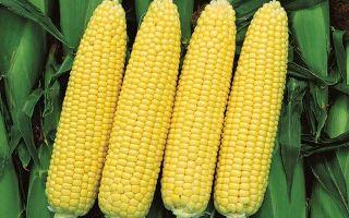 Сахарная кукуруза: технология выращивания, лучшие сорта, схема посадки