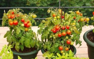 Выращивание рассады помидор на балконе
