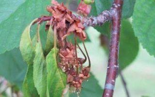 Черешня брянская розовая: описание сорта, морозостойкость, опылители, фото, отзывы