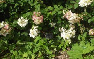 Гортензия метельчатая пинк леди (pink lady): описание, фото, отзывы, посадка и уход.