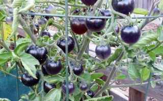 Томат индиго роуз: отзывы, описание, фото