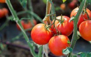 Томат белла росса: описание сорта, отзывы, выращивание, фото