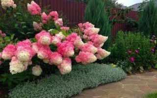 Гортензия метельчатая фрейз мельба (fraise melba): описание, фото, отзывы, посадка и уход