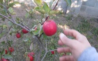 Яблоня Флорина: описание сорта и фото, отзывы садоводов