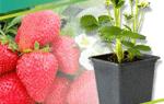 Как размножить боярышник в домашних условиях: черенками, семенами, прививкой