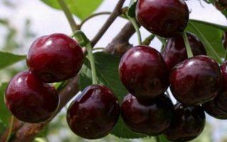 Черешня Ревна: описание сорта, опылители и фото, отзывы садоводов