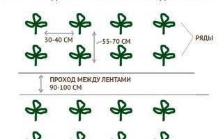 Баклажан Марципан F1: отзывы огородников, фото и описание сорта