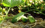 Огурец буян f1: описание сорта, фото, отзывы
