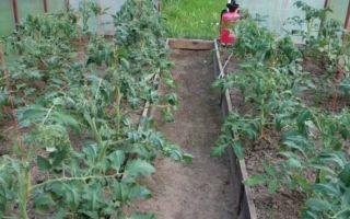 Почему в теплице у помидоров скручиваются листья
