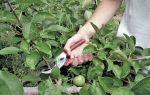 Яблоня Семеренко: описание сорта, фото, отзывы, посадка, сбор и хранение урожая