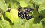 Черная смородина Багира: описание сорта, фото, отзывы садоводов