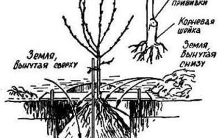 Черешня Россошанская крупная: описание сорта, фото, отзывы, опылители