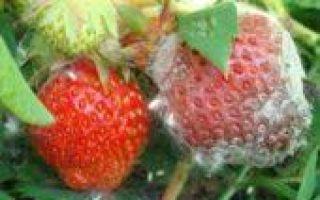 Клубника московский деликатес: описание сорта, фото, отзывы
