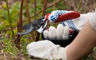 Ремонтантная малина: подготовка к зиме