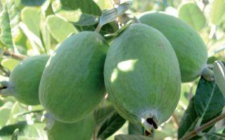 Фейхоа: полезные свойства и противопоказания к употреблению ароматного фрукта