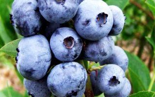 Голубика блюголд: описание сорта, фото, отзывы