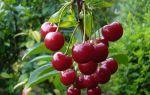 Черешня Франц Иосиф: описание сорта, опылители, фото, отзывы