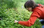 Как правильно выращивать садовую клубнику