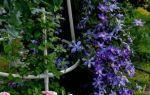 Клематис арабелла: фото и описание, отзывы, группа обрезки