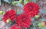 Бордюрные (низкорослые) георгины: карликовые сорта с фото и описанием, посадка и уход, выращивание