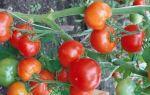Томат любимый праздник: характеристика и описание сорта