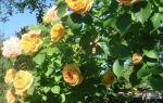 Роза плетистая белая: сорта