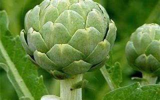 Как вырастить артишок из семян: на даче, на огороде, в подмосковье, в сибири, в средней полосе, на урале, как и где растет в россии, зимовка, видео