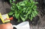 Какими удобрениями поливать перцы после посадки