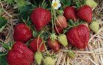 Клубника гирлянда: описание сорта, фото, отзывы, агротехника