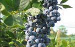 Голубика либерти: описание сорта, отзывы, фото
