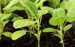 Баклажан Король рынка F1: отзывы огородников, фото и описание сорта