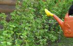 Смородина натали: описание сорта, фото, отзывы