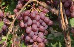 Виноград марадона (шоколадный): описание сорта, фото, отзывы, видео