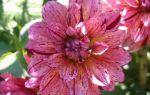 Разновидности георгины Мингус: лучшие декоративные сорта цветка