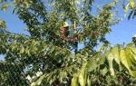 Черешня Приусадебная желтая: описание сорта, фото, отзывы