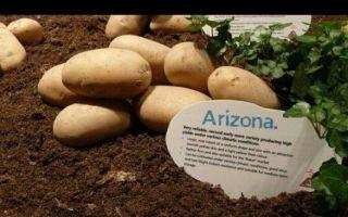 Картофель гурман: описание сорта, отзывы, фото, посадка и уход