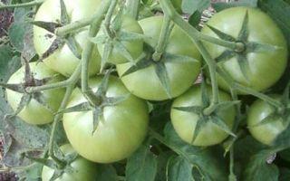 Томат краснобай: отзывы, фото, урожайность