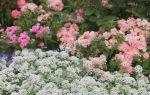 Алиссум скальный: посадка и уход за растением + фото