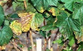 Обработка смородины весной от болезней и вредителей: когда и чем опрыскивать