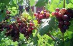 Виноград заря несветая: описание сорта, фото, отзывы