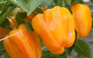 Сорта перцев для открытого грунта в сибири