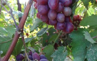 Виноград сенатор павловского, бурдака: описание сортов, фото, отзывы