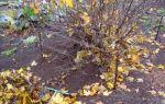 Пересадка смородины осенью на новое место: когда пересаживать