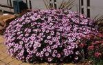 Диморфотека — выращивание из семян в домашних условиях