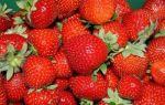 Как вырастить клубнику по финской технологии: описание